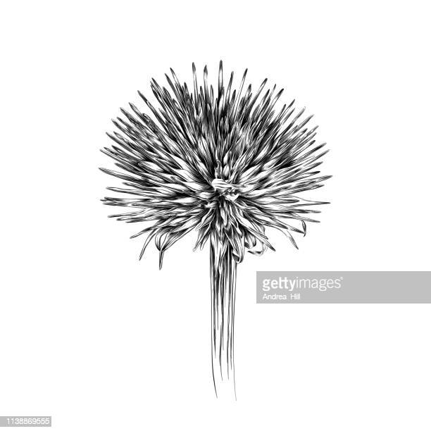 winter echinacea flowers pen and ink vector illustration in vintage engraving style - botany stock illustrations