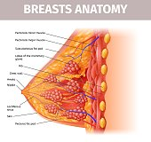 Woman Breasts Anatomy. Cross Section Close Up View