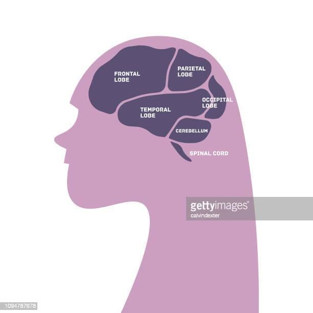 Frauen-Silhouette mit Teilen des Gehirns Infografik