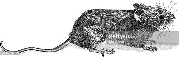 wood mouse - rat stock illustrations, clip art, cartoons, & icons