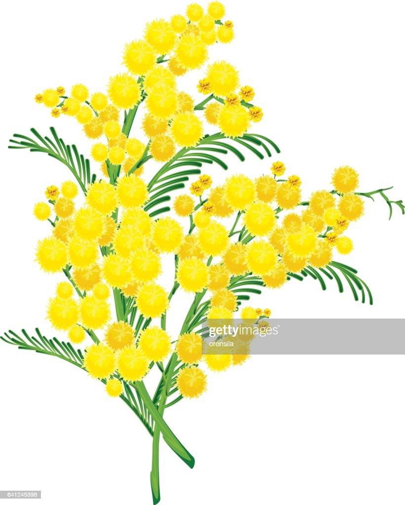 Yellow acacia blossom branch flower