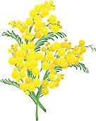 Yellow acacia blossom branch flower