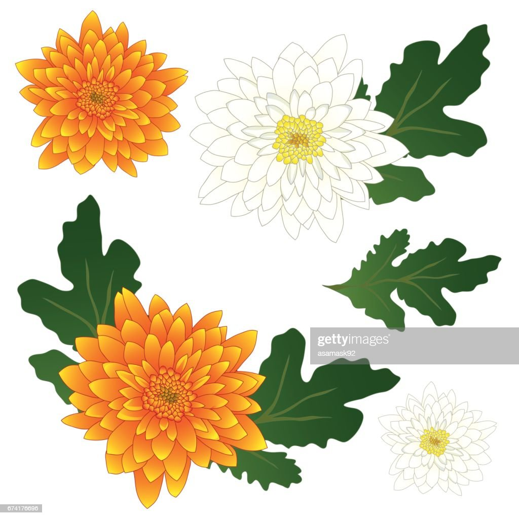 Yellow and White Chrysanthemum Flower. Vector Illustration. isolated on White Background