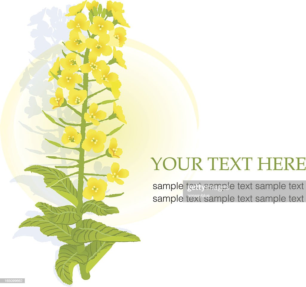 Yellow blooming rapeseed