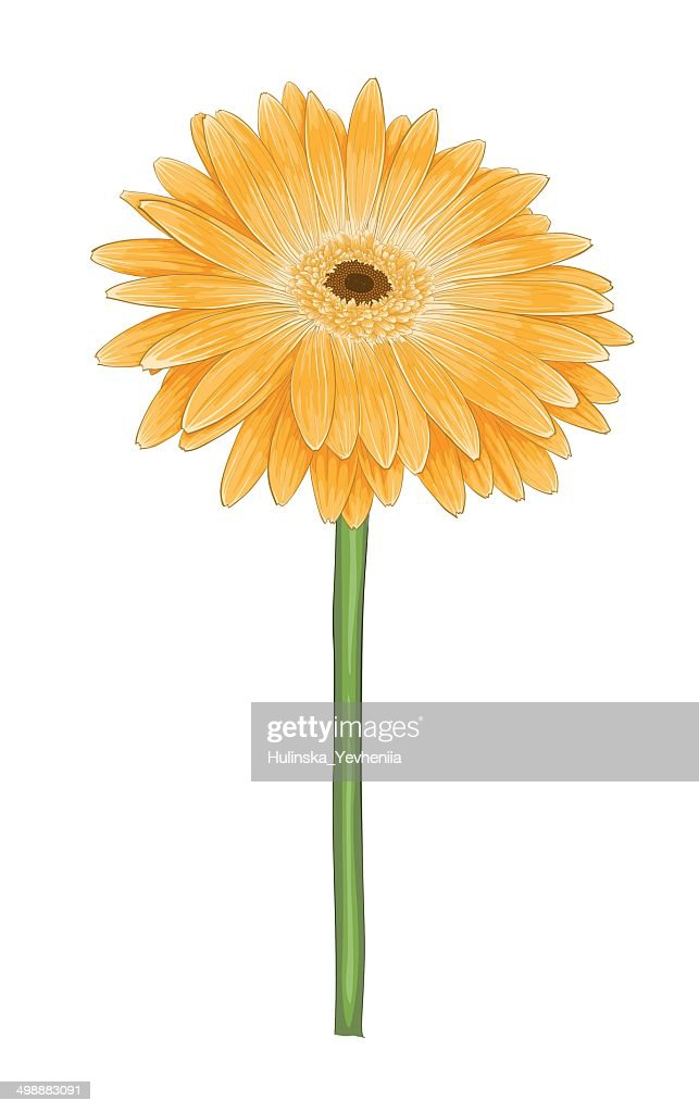 yellow gerbera with watercolor effect isolated on white background