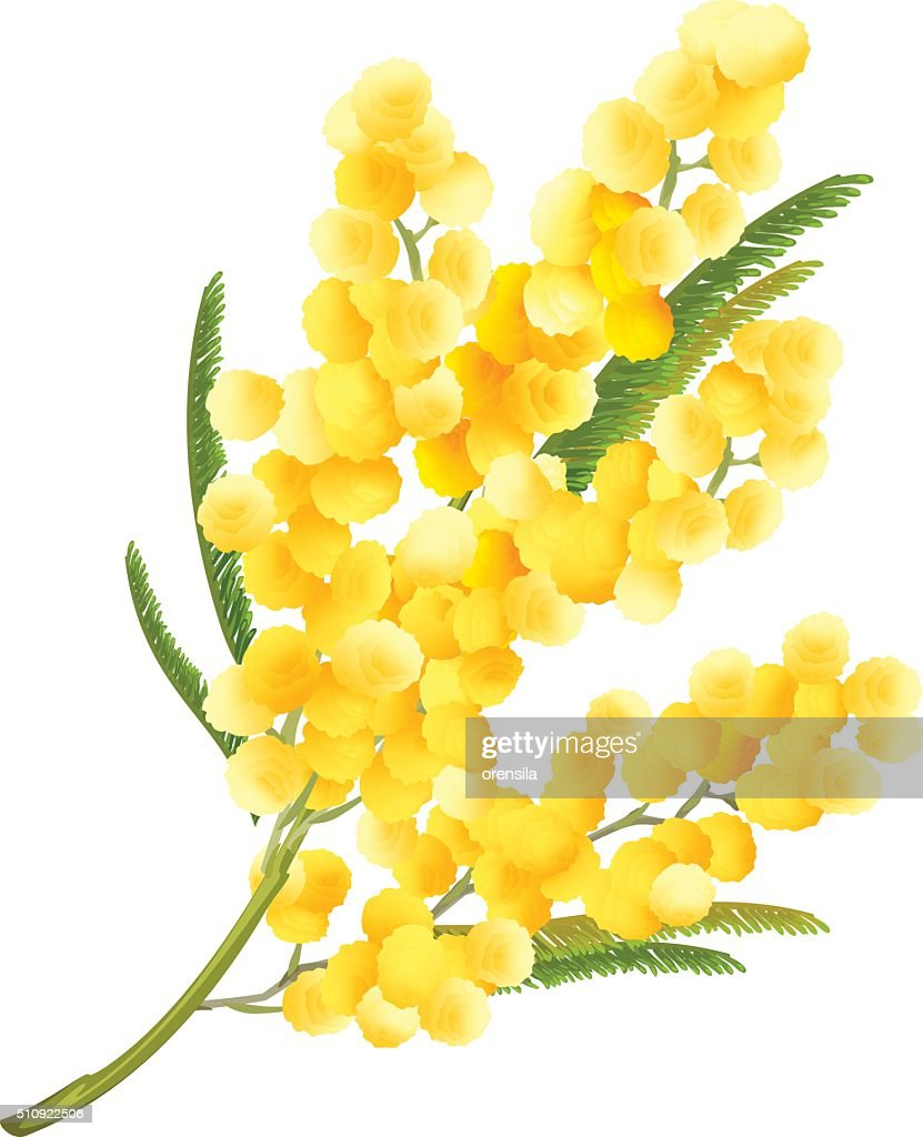 Yellow mimosa flower. Acacia flower symbol of Womens Day