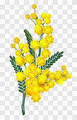 Yellow mimosa flower branch isolated on transparent background