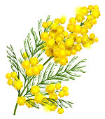 Yellow mimosa flower branch symbol of spring isolated on white