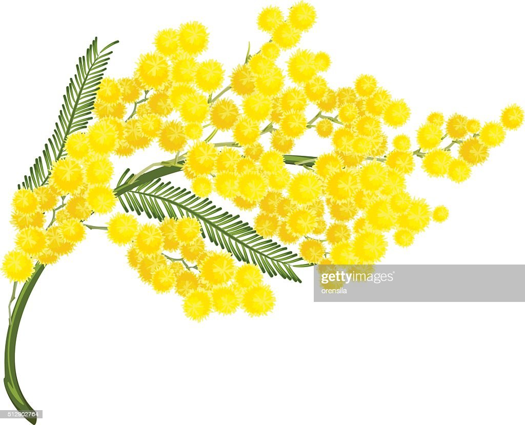 Yellow mimosa flower. Mimosa flower symbol of Womens Day
