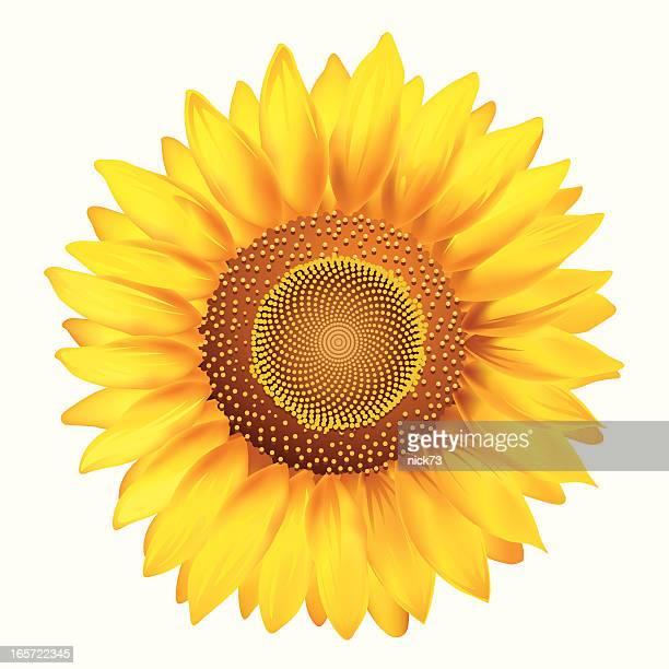 yellow sunflower on white background - sunflower stock illustrations, clip art, cartoons, & icons