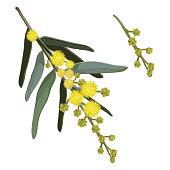 Yellow Wattle Flowers