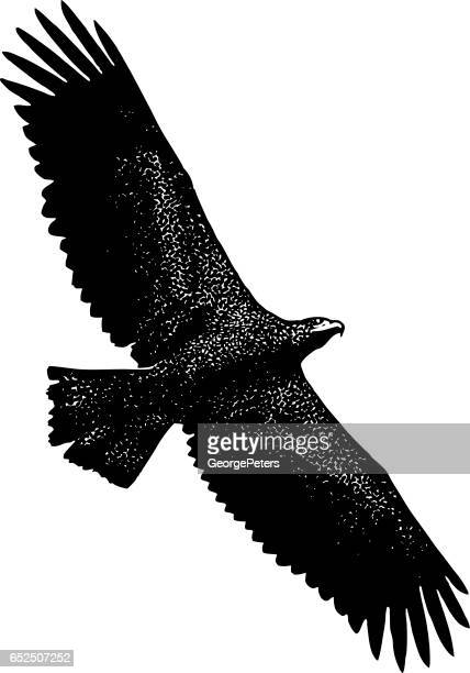 young bald eagle flying - bird of prey stock illustrations, clip art, cartoons, & icons