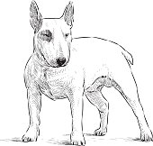 young bullterrier