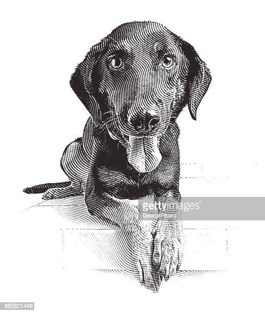 a young german shepherd mix dog waiting to be adopted - dog stock illustrations