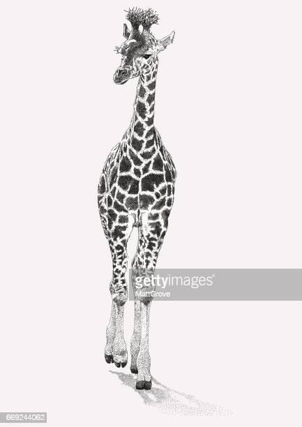 illustrations, cliparts, dessins animés et icônes de jeune girafe - girafe