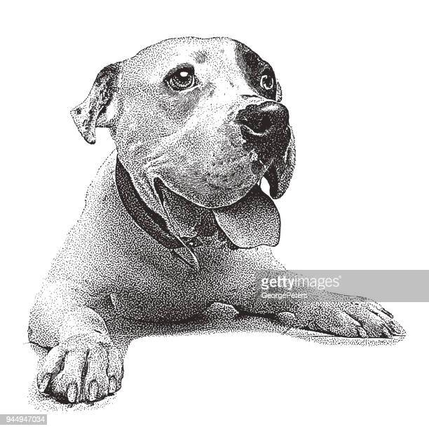 Young male Pit Bull Terrier