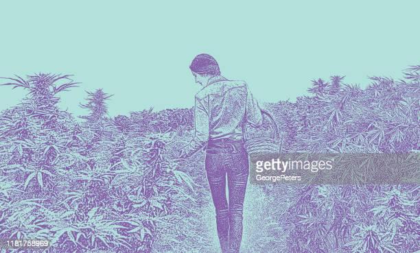 ilustrações, clipart, desenhos animados e ícones de fazendeiro novo da mulher que colhe plantas de cânhamo - intoxicação por cannabis