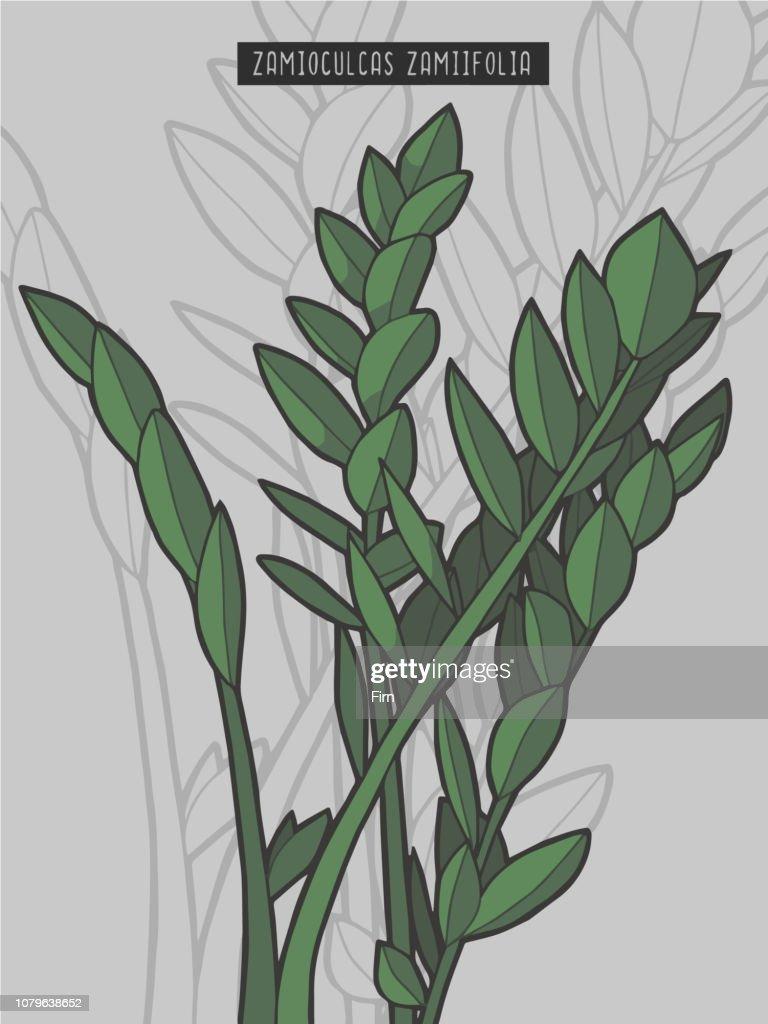 Zamioculcas zamiifolia ZZ Plant rainforest tropical plant vector