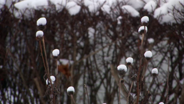CLOSE ANGLE OF BUSH OR PLANT WITH BARE BRANCHES OR STEM. SNOW COVERS BULB OF PLANT. COULD BE BUSH OR FLOWER. CAMERA PANS UP TO BUSHES OR HEDGES ON SIDE OF HOUSE COVERED IN SNOW. HOUSE IN BG.