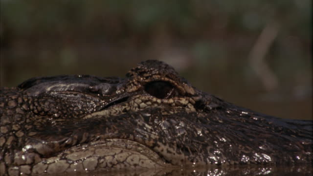 close angle of alligator's closed eye. eye slowly opens remains so. - alligator stock videos & royalty-free footage