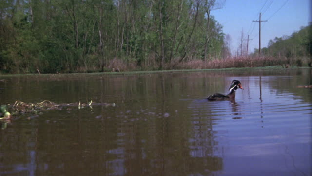 medium angle of a pond surrounded by trees and shrubbery. male duck enters screen on left. camera pans right across pond, see log floating is water. alligator enters screen from right and camera stops. - alligator stock videos & royalty-free footage