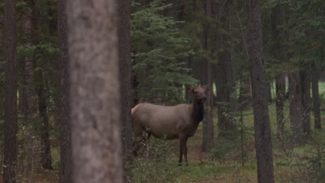 MEDIUM ANGLE OF DEER STANDING IN MIDDLE OF FOREST. DEER'S EARS ARE PERKED UP AND SHE LOOKS STRAIGHT AT CAMERA. COULD BE HUNTING SHOT.