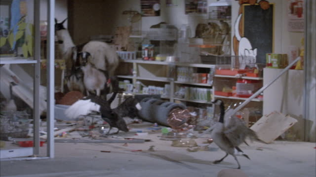 MEDIUM ANGLE OF FARM ANIMALS IN STORAGE ROOM OR GARAGE OR LAB MAKING MESS OR CLUTTER. GEESE, LLAMA, GOAT, BABY OSTRICH. ANIMALS LEAVE GARAGE.