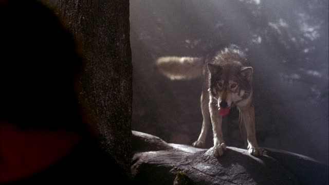 medium angle of wolf standing on rock, trainer at left of frame throughout shot. wolf growls and snarls at trainer. neg cut. - 歯をむく点の映像素材/bロール