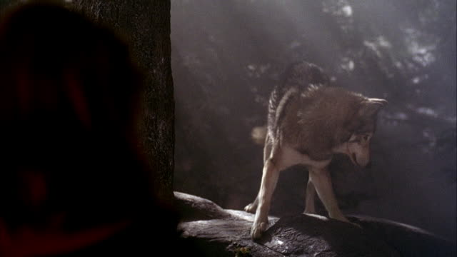 medium angle of wolf standing on rock, trainer at left of frame throughout shot. wolf growls and snarls at trainer. trainer throws several pieces of meat to wolf, wolf catches and eats meat. - 歯をむく点の映像素材/bロール