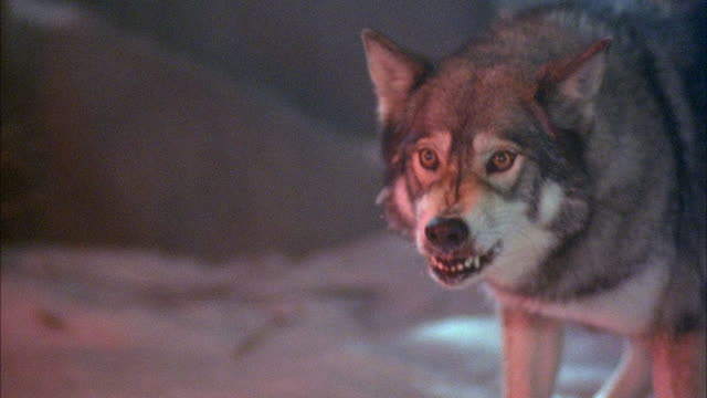 medium angle of gray and white wolf barking and growling. - 歯をむく点の映像素材/bロール