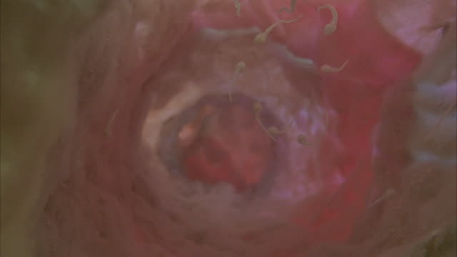 CLOSE ANGLE OF SPERM CELLS SWIM DOWN IN FALLOPIAN TUBE OR REPRODUCTIVE ORGAN. HUMAN BODY.