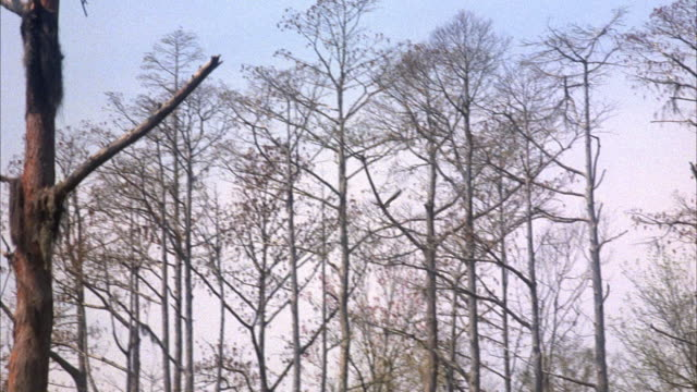 vídeos de stock e filmes b-roll de medium angle tracking shot of bird flying left to right through trees in forest. tree branches are bare, most likely during winter. - bare tree