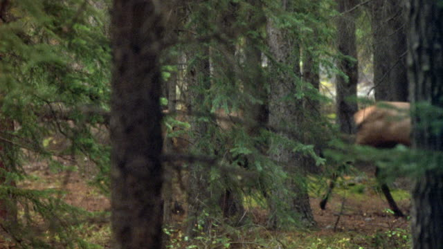 medium angle of antelope or deer walking through forest area. view is partially obscured by trees. - hirsch stock-videos und b-roll-filmmaterial