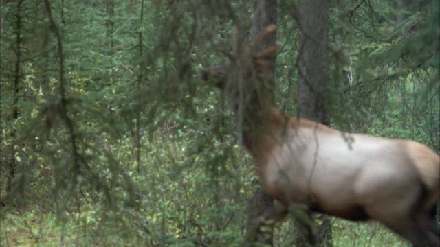 TRACKING SHOT OF TYPE OF DEER OR BUCK WITH SMALL ANTLERS TROTTING THROUGH FOREST FROM RIGHT TO LEFT. POV MOVES TO LEFT TO TRACK DEER. SEE TREES IN FOREGROUND BETWEEN POV AND DEER. DEER EXITS ON LEFT BEHIND TREES.