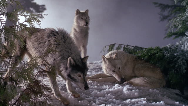 MEDIUM ANGLE OF THREE WOLVES ON SNOW COVERED GROUND WITH TREES OR BUSHES ON RIGHT AND LEFT. SEE TWO WOLVES IN FRONT BARKING AND LASHING TOWARDS RIGHT OF POV. SEE PERSON'S HANDS HOLDING PUPPET DOG ENTER ON RIGHT. HANDS MOVE DOG TOWARDS WOLVES SO THEY BARK