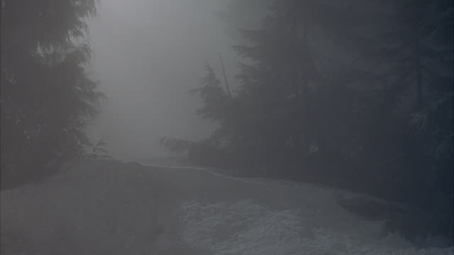 medium angle of snow covered ground with evergreen trees on right and left. see pack of four wolves emerge from behind hill through fog and run through gap in trees in middle of screen towards and past pov. see one wolf jump over pov. - nebbia video stock e b–roll
