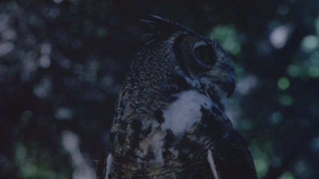 CLOSE ANGLE OF OWL WITH FOREST IN BACKGROUND, FOREST OUT OF FOCUS. OWL TURNS HEAD SIDE TO SIDE. HAND TOUCHES OWL FROM BOTTOM LEFT FOREGROUND AT START.