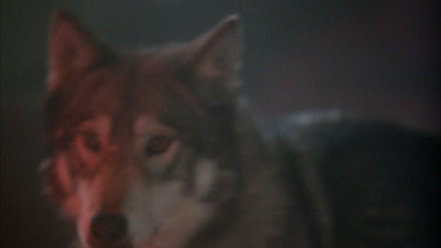 close angle of wolf snarling, growling, and barking to front left of frame. reflection of red light on wolf. wolf bends over at end to lick ground. neg cut. - 歯をむく点の映像素材/bロール