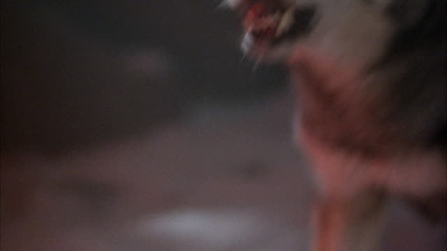stockvideo's en b-roll-footage met close angle of wolf snarling, growling, and barking to front left of frame. reflection of red light on wolf. wolf bends over at end to lick ground at one point. - seizoen