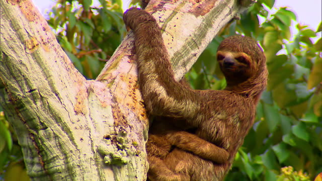 vidéos et rushes de sloth embracing baby and blinking - jeune animal