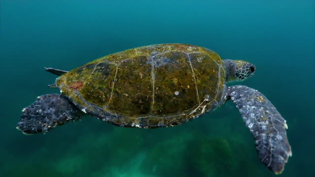 stockvideo's en b-roll-footage met close up - green sea turtle in atlantic sea - zeedieren