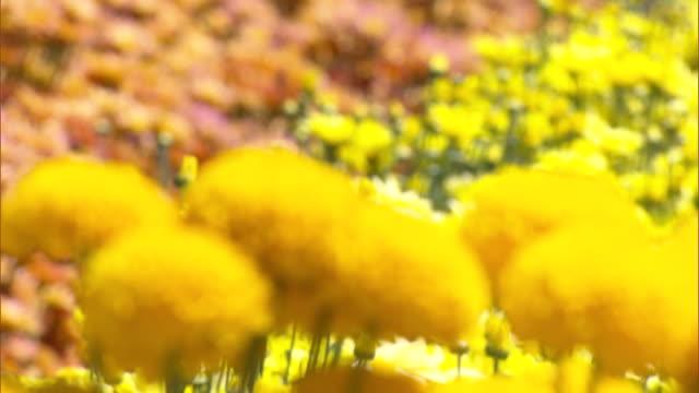 vidéos et rushes de close up - yellow dahlia flowers - pétale