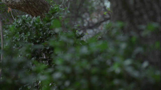 MEDIUM ANGLE OF BUSHES AND SHRUBBERY IN FOREST. COULD BE JUNGLE OR WOODS. TREES. NEANDERTHAL MAN RUNS THROUGH CLEARING WITH SPEAR FROM RIGHT TO LEFT. MAN WEARS ANIMAL SKIN CLOTHING. COULD BE CAVEMAN. COULD BE HUNTING.
