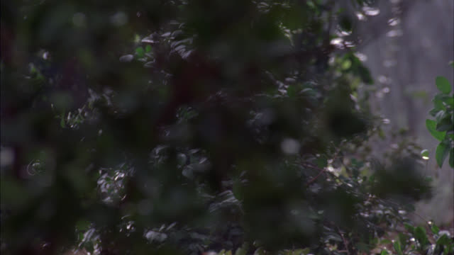 CLOSE ANGLE OF BUSHES AND SHRUBBERY IN FOREST. COULD BE JUNGLE OR WOODS. TREES. NEANDERTHAL PEOPLE  RUN THROUGH CLEARING FROM RIGHT TO LEFT. LEGS VISIBLE AND ANIMAL SKIN CLOTHING. COULD BE CAVE PEOPLE. COULD BE HUNTING.