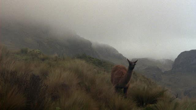 medium angle of lone llama on grassy hillside in mountains. fog and overcast. llama walks away from pov to left. - ecuador stock videos & royalty-free footage
