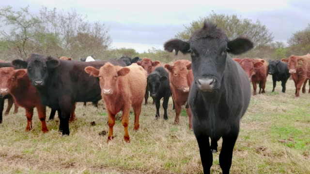black and brown cows watching the camera curiosly - santa fe new mexico stock videos & royalty-free footage