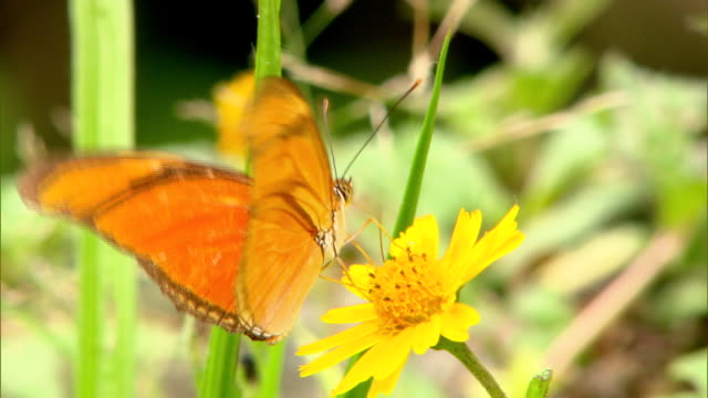 BUTTERFLY FEEDING FROM YELLOW FLOWER