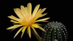 BLOOMING CACTUS FLOWER LOBIVIA YELLOW COLOR 4K T/L