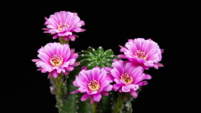 stockvideo's en b-roll-footage met bloeiende cactus bloemen echinopsis roze bloem 4k t/l - vetplant