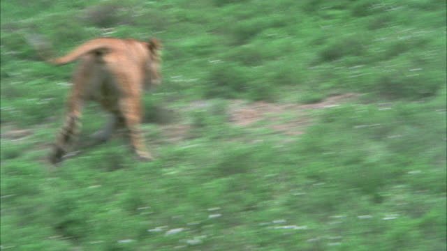 vidéos et rushes de medium angle of lioness chasing hyenas or wild dogs in grassy field. neg cut multiple takes. - 1974